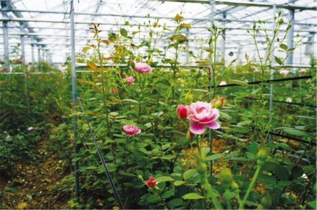 バラを栽培する温室の様子