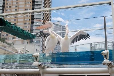 ペリカンを真下から見られる水道型の展示