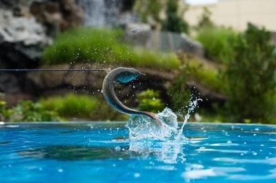 アロワナが飛び跳ねて餌を採る様子を間近で見られる水槽
