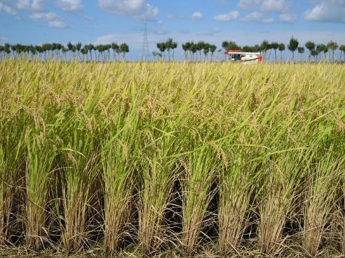 2018年は台風の影響で、稲がなぎ倒される光景が各地で見られた。台風にも負けない強さを備えるべく、「新之助」の稲は「コシヒカリ」よりも10cmほど短い(写真提供:髙塚俊郎氏)