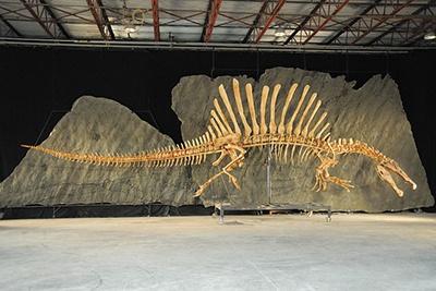恐竜博ではスピノサウルスの最新復元骨格を日本初公開。3月8日から6月12日まで。写真提供/シカゴ大学(撮影:Mike Hettwer)