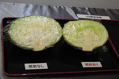 キャベツを野菜室内のLED照射エリアに7日間保存した際の緑化の比較。左のキャベツはLED照射なし、右はLED照射あり