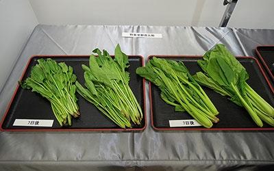 野菜室に入れて7日目のほうれん草とこまつ菜を比較。それぞれ写真の左側が2015年度のMR-WX71Z。写真右側が新製品の朝どれ野菜室に保存したもの。葉や茎部分のハリが違う