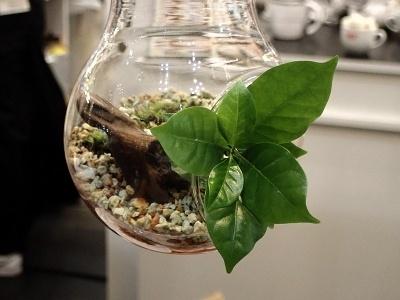 「コーヒー盆栽」の例。小さい作品は4000円前後で販売している