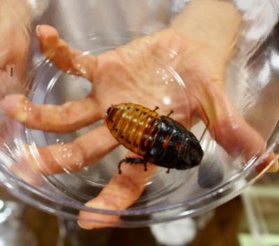 展示用のペットとして飼っている世界最大級のゴキブリ「マダガスカルオオゴキブリ」。体を押さえると「シュー、シュー」という鳴き声をあげる